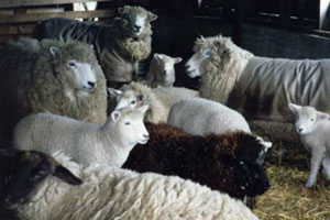 Some of SkyLines' contented sheep.